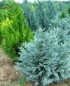 CHAMAECYPARIS LAWSONIANA ''PEMBURY BLUE''